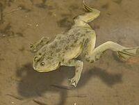Palaeobatrachus