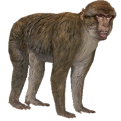 Barbary Ape remake.
