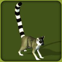 File:Ring-Tailed Lemur.jpg