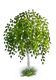 File:Birch Tree 4.png